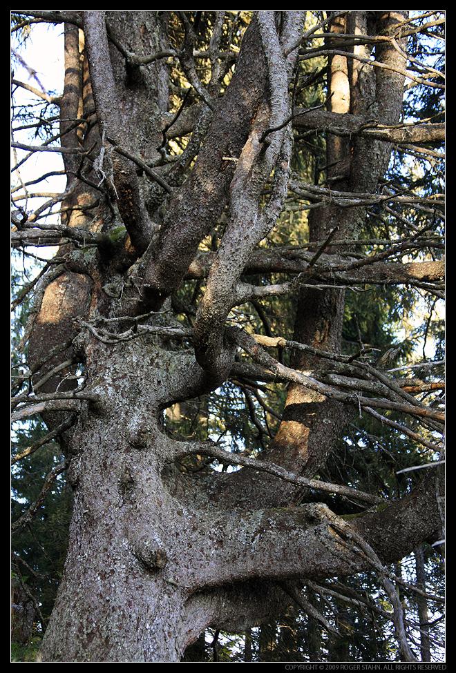 verknorrter und verwachsener Baum